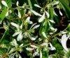 Wilczomlecz Euphorbia 'Diamond Frost' Sklep cena
