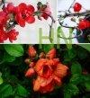 Śliczne czerwone kwiaty pigwowca