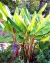 Bananowiec