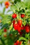 jagoda goji odmiany