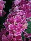 Hydrangea macrophylla