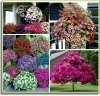 Cudowna petunia czerwono - purpurowa