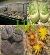 Żywe Kamienie, mieszanka gatunków (Lithops) 50 nasion