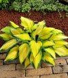 Funkia o żółtych liściach sadzonka