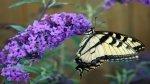 Budleja- jak sadzić i pielęgnować motyli krzew ?