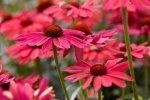 Jakie rośliny w naszym ogrodzie są odporne na suszę?