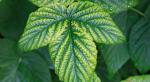 Dlaczego magnez jest niezbędny dla roślin?