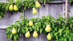 Mini drzewka owocowe - jak je pielęgnować ?