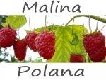 Malina Polana - dlaczego warto ją mieć.
