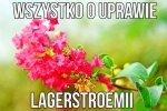 Lagerstroemia - hit ostatnich sezonów ogrodniczych.