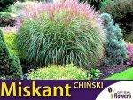 Miskant Chiński Trawa Gigant (Miscanthus sinensis) 0,05g