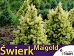 Świerk biały 'Maigold' (Picea glauca) Sadzonka