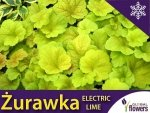 Żurawka 'Electric Lime' (Heuchera) Sadzonka