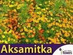 Aksamitka wąskolistna, mieszanka (Tagetes tenuifolia) 0,5g