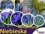 Kolorowy ogród Harmonia barw Kompozycja niebieska  CEBULKI
