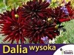 Dalia kaktusowa wysoka Czarny Kot (Dahlia x cultourum) CEBULKA