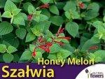 Szałwia 'Honey Melon' (Salvia elegans) Sadzonka
