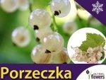 Porzeczka biała wersalska sadzonka (Ribes niveum)