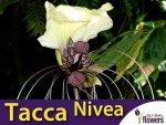 Kwiat Nietoperz Biały (Tacca integrifolia) nasiona