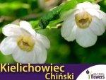 Kielichowiec Chiński (Calycanthus chinensis) Sadzonka