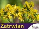 Zatrwian wrębny, żółty (Limonium sinutum) 0,3g nasiona