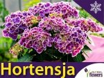 Hortensja ogrodowa TIVOLI BLAU (Hydrangea macrophylla) Dwubarwna Sadzonka C2