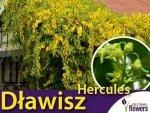 Dławisz okrągłolistny męski 'Herkules' (Celastrus orbiculatus) Sadzonka 60-90cm