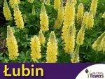 Łubin trwały Żółty Chandelier (Lupinus polyphyllus) 2g, Nasiona