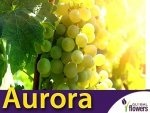 Winorośl Aurora Sadzonka - odmiana deserowa Vitis 'Aurora'