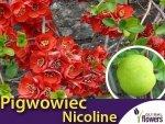 Pigwowiec Pośredni 'Nicoline' (Chaenomeles superba) Sadzonka