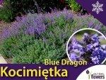 Kocimiętka 'Blue Dragon' (Nepeta yunnanensis) Sadzonka
