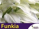 HIT Funkia ogrodowa (Hosta) White Feather KŁĄCZE