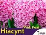 Hiacynt Wschodni 'Pink Pearl' (Hyacinthus) CEBULKI