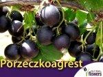 Porzeczkoagrest 'Josta' (Ribes x Nidigrolaria) doniczkowana Sadzonka