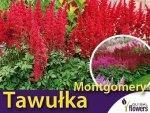 Tawułka japońska 'Montgomery' (Astilbe japonica) Duża Sadzonka donica 5l