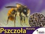 Pszczoła murarka uśpione kokony