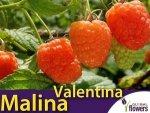 Malina właściwa morelowa (Rubus idaeus) 'Valentina®' Sadzonka C2