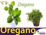 Oregano (Lebiodka pospolita) - Origanum vulgare