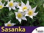 Sasanka zwyczajna Biała (Pulsatilla vulgaris) nasiona
