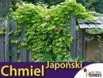Chmiel Japoński pnącza (Humulus japonicus)
