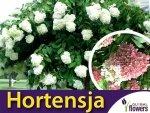 Hortensja Bukietowa 'Grandiflora' (Hydrangea paniculata) Sadzonka
