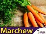 Marchew Amsterdam 2 Wczesna (Daucus carota) 5g + 1g
