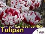 Tulipan pełny późny 'Carnaval de Nice' (Tulipa) CEBULKI 5 szt