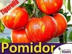 Pomidor Tigerella - Czerwona zebra (Lycopersicon Esculentum) 0,2g