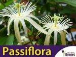 Męczennica biała (Passiflora capsularis) nasiona