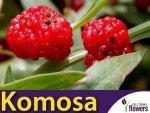 Komosa Rózgowa - Strawberry Sticks (Chenopodium foliosum) Szpinak Truskawkowy 0,1g