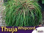 Żywotnik olbrzymi 'Whipcord' (Thuja plicata) Sadzonka