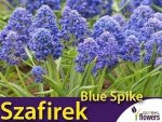 Szafirek pełny 'Blue Spice' (Muscari) CEBULKI