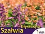 Szałwia błyszcząca, mieszanka (Salvia splendts) 0,5g, Nasiona