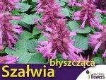 Szałwia błyszcząca, różowa (Salvia splendts) 0,5g, Nasiona